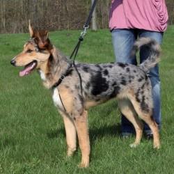 Harnais de Dressage Easywalk pour chiens